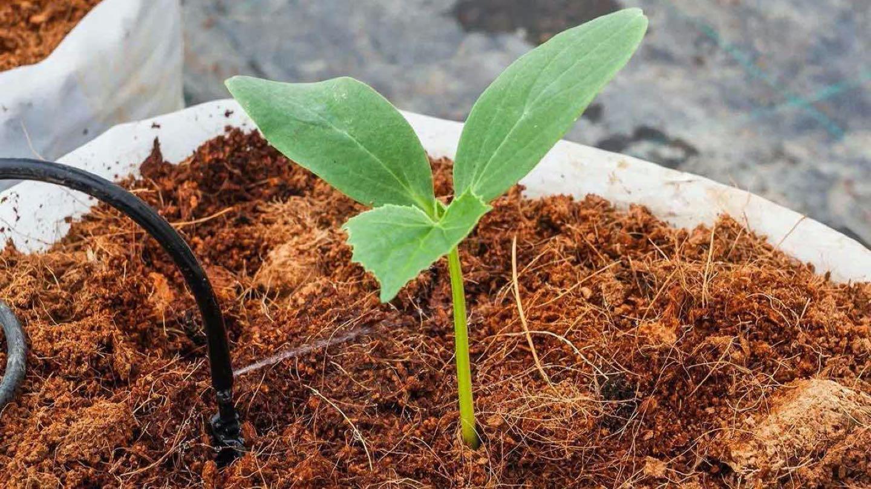 penggunaan-cocopeat-untuk-tanaman